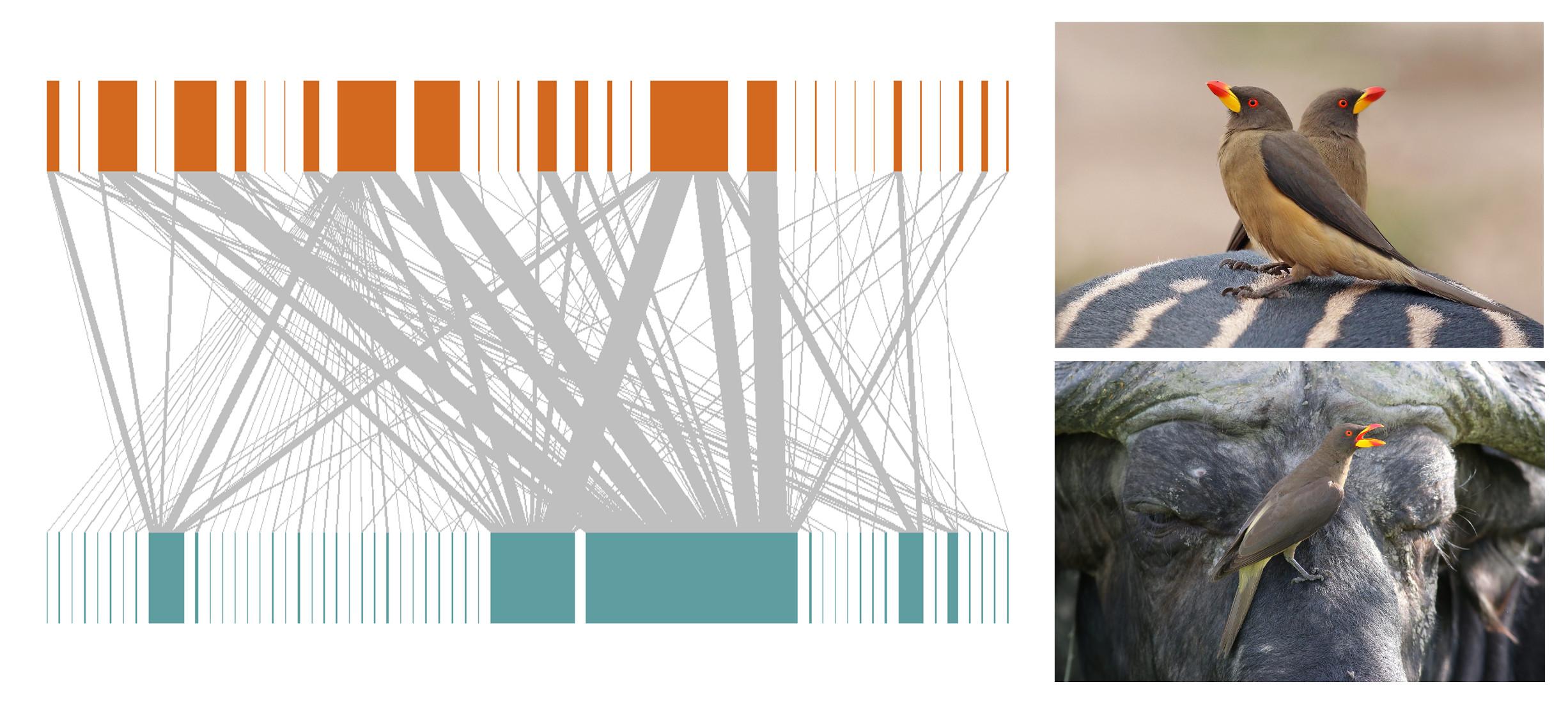 Réseaux quantitatifs d'association d'oiseaux et de mammifères pour les espèces à pique-bœuf et sans pique-bœuf chez les oiseaux africains et les mammifères herbivores révélés par l'analyse de Google Images
