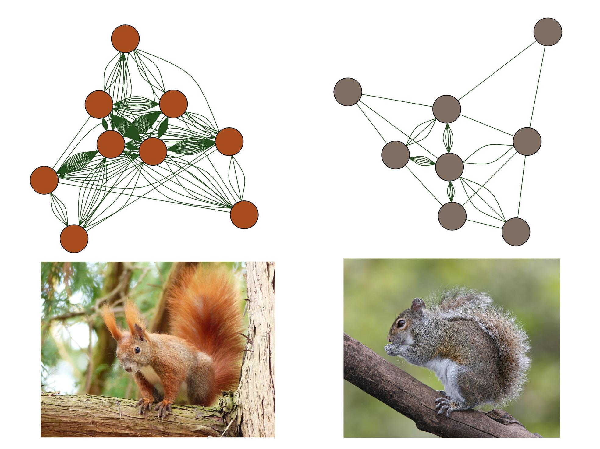 La visualisation en réseau du comportement des écureuils roux (à gauche) et gris (à droite) évalués par des vidéos sur Youtube