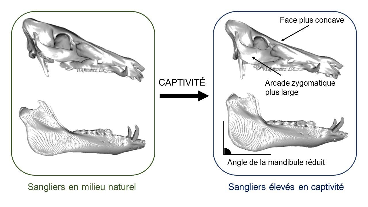 crane sanglier