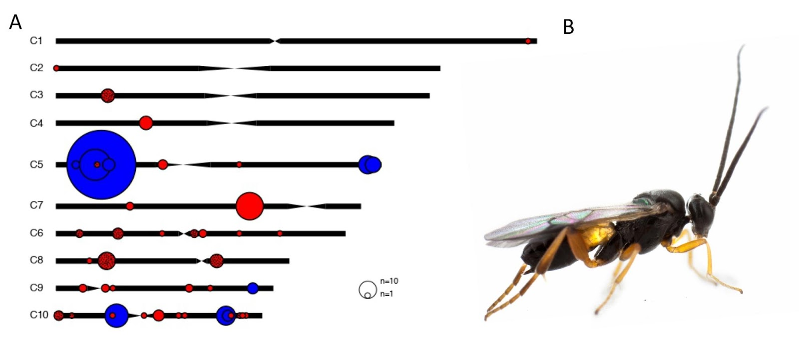 Carte de l'organisation des gènes du bracovirus dans le génome de la guêpe parasite Cotesia  A. Les différentes localisations des gènes du bracovirus sur les chromosomes de Cotesia congregata sont représentées par des disques colorés dont la taille est proportionnelle au nombre de gènes. En bleu: régions du génome contenant les gènes de virulence incorporés dans les particules et exprimés dans les chenilles parasitées. Noter l'importance de la région située sur le bras court du Chromosome 5. En rouge: régions contenant les gènes impliqués dans la production des particules virales. La région virale du chromosome 7 en contient presque la moitié, si l'on ne compte pas les copies supplémentaires de gènes dispersées produites par duplications. Elle est amplifiée lors de la production des particules et code en particulier pour des composants structuraux majeurs des particules. Les disques en rouge plus foncé correspondent à une famille de gènes hyper-diversifiée par duplications comprenant 35 copies dont jusqu'à 10 sont localisées au même site (C8). B Macro-photographie de la guêpe C. congregata (crédit Hans Smid).