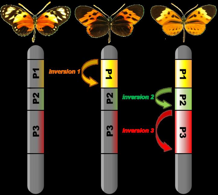 Fig.3. Le rôle des inversions dans le maintien de la diversité de coloration. Les motifs colorés sont contrôlés par des inversions caractérisant 3 types chromosomiques distincts. Les différences d'orientation de l'ADN entre ces 3 types empêchent le brassage génétique et bloquent ensemble les variants qu'ils contiennent. Cet effet a un effet positif en empêchant les bonnes combinaisons de caractères (signaux colorés) d'être remaniées lors de la formation des gamètes, mais aussi un effet négatif en favorisant l'accumulation de mutations négatives. Crédit : Mathieu Joron