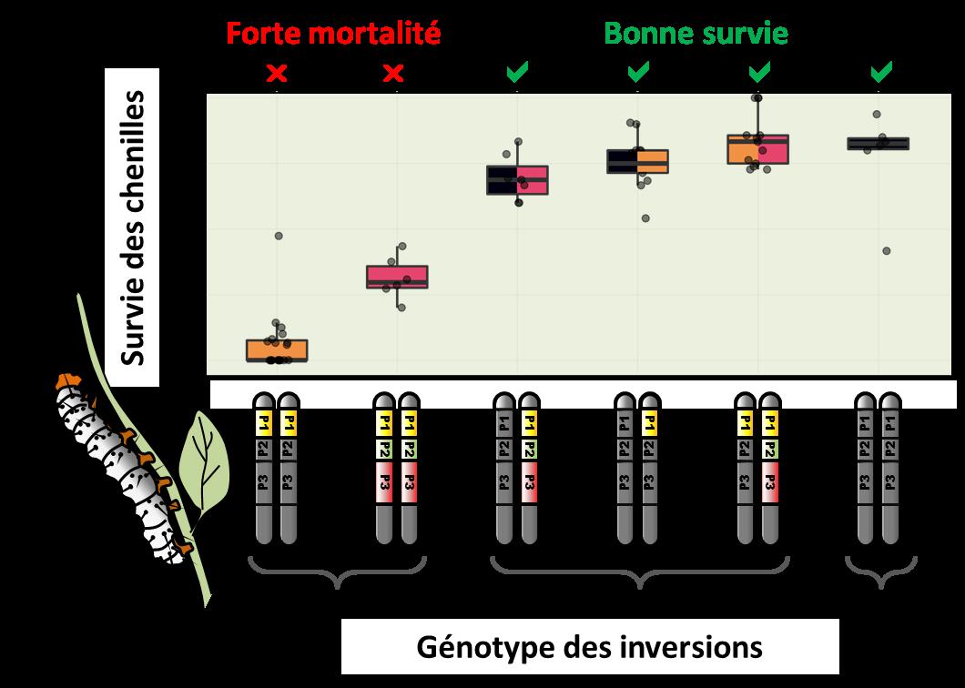 Fig.4. Augmentation de la mortalité juvénile lorsque les inversions sont homozygotes. Associées à des motifs colorés protecteurs, les inversions confèrent un avantage et se répandent dans la population, mais elles ne peuvent envahir la population et éliminer complètement le type chromosomique sans inversion moins bien protégé. En effet, étant chargées de mutations délétères, leur avantage diminue à mesure qu'elles deviennent plus fréquentes et forment des homozygotes qui meurent sous forme de chenille. Autrement dit, les inversions ne sont avantageuses que lorsqu'elles sont hétérozygotes. Crédit : M Joron et M Chouteau.